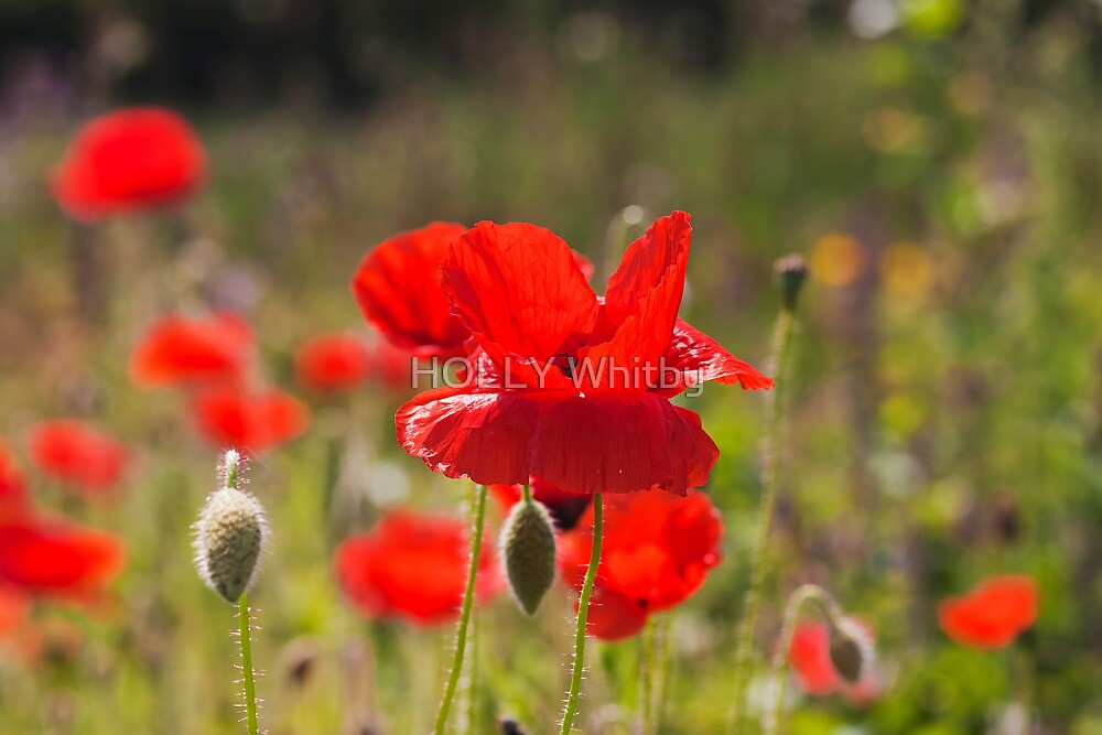 Poppies  by Elaine123