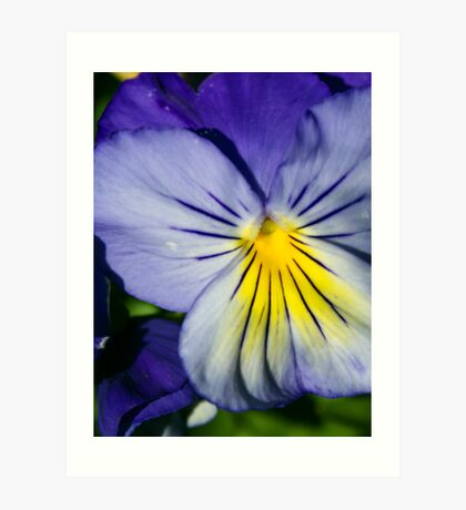 Pansy Afternoon Art Print