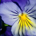 Pansy Afternoon by Rhonda Blais