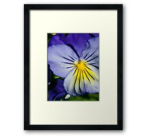 Pansy Afternoon Framed Print
