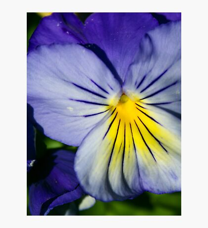 Pansy Afternoon Photographic Print