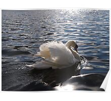 swan on a lake Poster