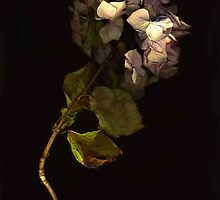 Dried Pink Hydrangea by Barbara Wyeth