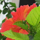 Hibiscus by dez7