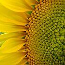 Sunflower Glory~ by virginian