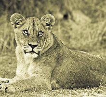 Lioness - Okavango Delta, Botswana by Shaun Stanley