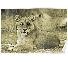 Lioness - Okavango Delta, Botswana Poster