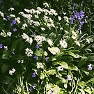 Wild Garlic in the garden by CliveOnBeara