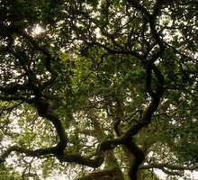 Old Oak by CliveOnBeara
