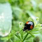 Ladybird- black with red spots  by PhotosbyDrJ