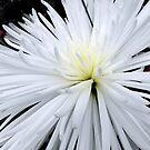 white chrysanthemum by tego53