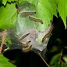 Eastern Tent Caterpillars by Robert  Mackert