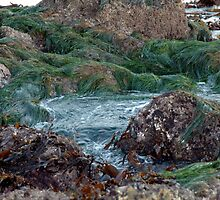 ocean seaweed on rocks by Karen Mezzano