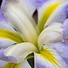 Japanese iris - ocean mist by Celeste Mookherjee