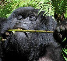 Silverback Gorilla Eating,  Hirwa Group,  Rwanda,  East Africa  by Carole-Anne