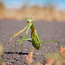 'Who, Me?' Praying Mantis Macro by David Lamb