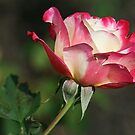 Carole's Rose by Monnie Ryan