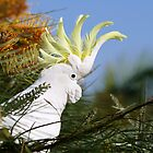 Sulphur- Crested White Cockatoo by cs-cookie