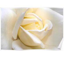 White rose macro Poster