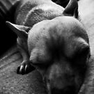 Chihuahua dozing... by ElaineKelly