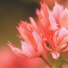 Fragrant pinks by bared