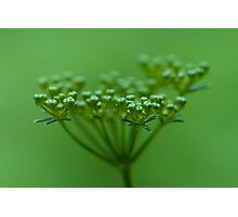 Parsley Seed Photographic Print