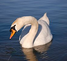 Mute Swan by ImageItFoto