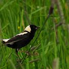 Bobolink Amidst the Grassland by Robert Miesner