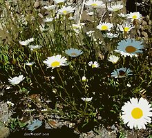 Gravel Road Daisies (Bellis perennis) by linmarie