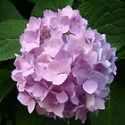Pink Hydrangea~ by Virginian Photography (Judy)