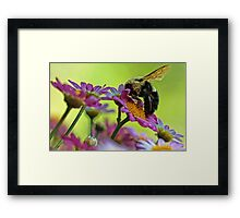 Bumble Bee and Beautiful Marguerite Daisies Framed Print