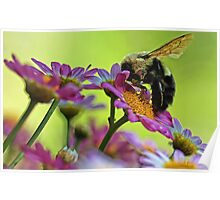 Bumble Bee and Beautiful Marguerite Daisies Poster