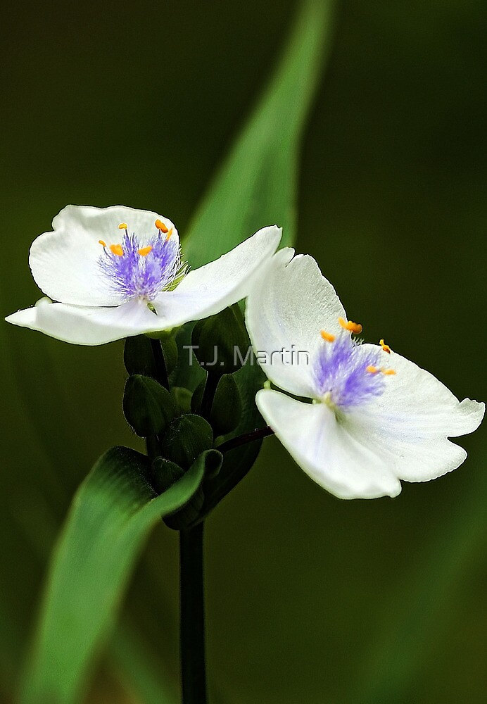 Alba Spiderwort -- In The Shade Garden by T.J. Martin