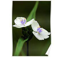 Alba Spiderwort -- In The Shade Garden Poster