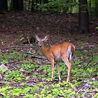 White Tail Deer by Chuck Chisler