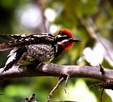 Red-naped Sapsucker ready for take-off by amontanaview