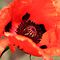Poppy Opening by TerrillWelch