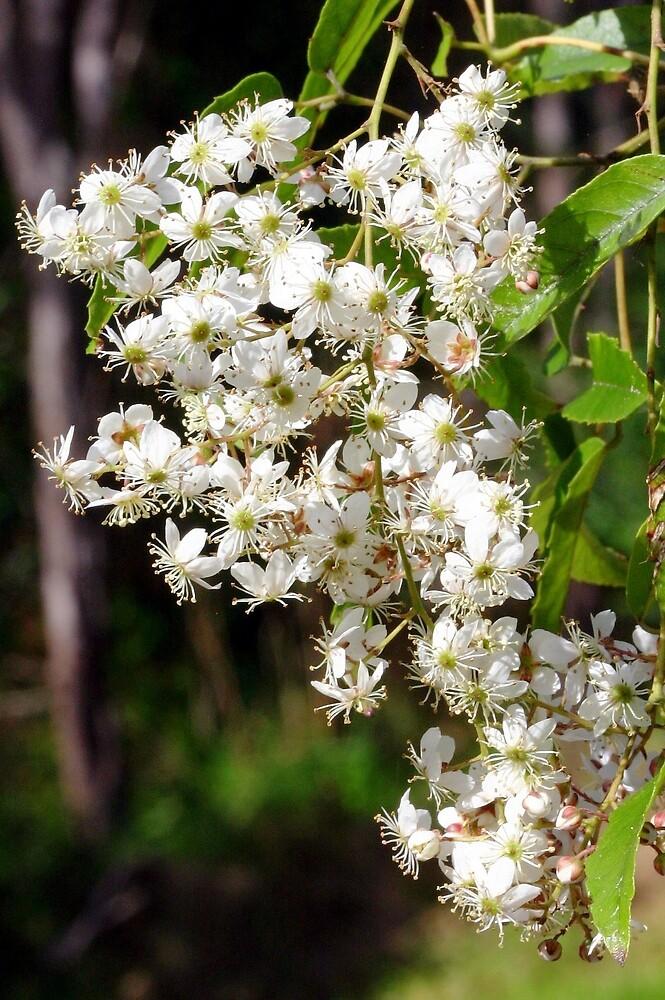 Flowers of Rubus cissoides Bush Lawyer by Tony Foster