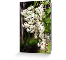 Flowers of Rubus cissoides Bush Lawyer Greeting Card