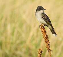 Eastern Kingbird by John  De Bord Photography