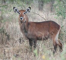 Defassa Waterbuck, Female, Serengeti, Tanzania  by Carole-Anne