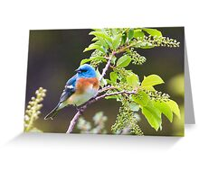 Male Lazuli Bunting Greeting Card