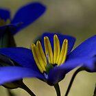 Cheiranthera alternifolia by Ben Loveday