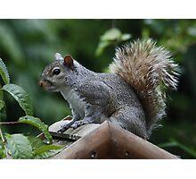 GREY SQUIRREL : Regular Visitor Photographic Print