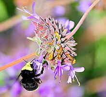 Sweet Garden Bumble Bee  •  Maxwell House by Richard  Leon