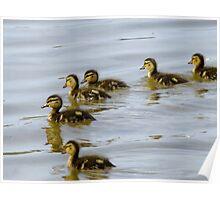 Baby Mallard Ducks Poster