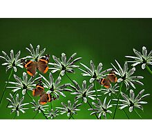 Butterflys among the flowers Photographic Print