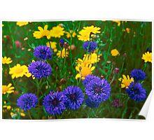 Blue Cornflowers in a Devon Meadow, U. K. Poster
