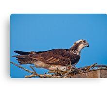 Osprey on Nest Canvas Print