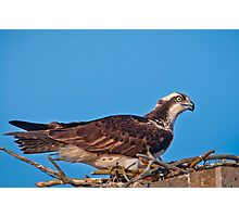 Osprey on Nest Photographic Print
